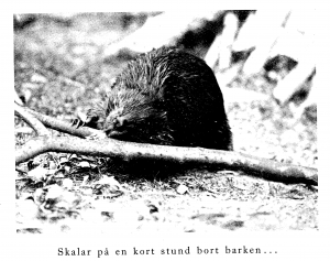 One of the first beaver pair overwintering at Skansen before their reintroduction to Jämtland in 1922. Photo from A. Behm, Nordiska Däggdjur (1922)