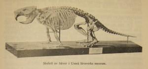 beaver_skeleton