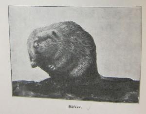 Beaver photo in the 1910 Skansen Short Guide for Visitors