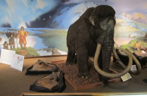 Columbian mammoth display, Page Museum at La Brea Tar Pits. Photo by Finn Arne Jørgensen.