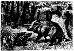 Drawing of wild boar from A. E. Brehm, Däggdjurens lif, trans. Smith and Lindahl (1882)