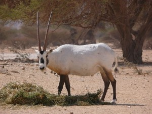 Arabian oryx in Israel. Photo by Wikimedia user MathKnight. Licensed under Creative Commons BY-SA 3.0.