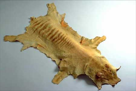 Skin of an adult thylacine, collected by Charles Selby Wilson in the Pieman River area of Tasmania, about 1930. National Museum of Australia collection.