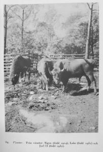 "A picture of three named wisent in Alarik Behm, ""Från Djurparken"" in En Bok om Skansen (1933)"