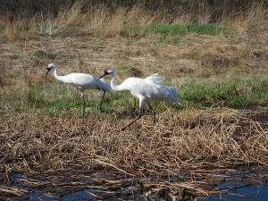 Whooping cranes at the International Crane Foundation. Photo by Dolly Jørgensen, 2012.