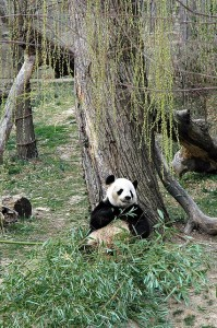 I actually saw Tai Shan in March 2006 when he was 8 months old, but he was laying up against the wall and it was impossible to get a photo. My husband Finn Arne did however take a photo of Tai Shan's mother Mei Xiang.