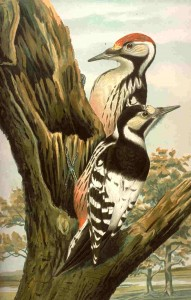 White-backed woodpecker (Weißrückenspecht) illustrated in Naumann, Naturgeschichte der Vögel Mitteleuropas (1901)