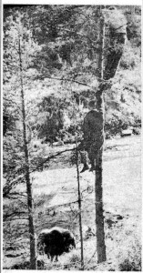 Paul Moen snapped this photo after he had been knocked down by a muskox who then went to check out Moen's friends who were up a tree. Photograph from Aftenposten, 18 September 1963.