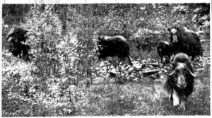 Photo captured by Ragnar Solberg in July 1954 of a muskox charging his family that had gotten close to the herd to take photos