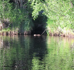 One of five beavers I saw on the beaver safari.