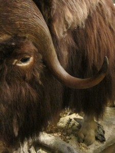 Muskox at the National Park Center in Dombås