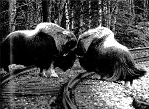 Muskox bulls duelling on a train track in Norway. Photograph by Einar Alendal, published in 'Moskusfeet på Dovrefjell' Trondhjems turistforening årbok 1979