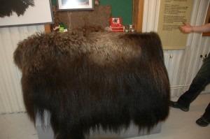 Muskox pelt for tourists to feel in the Myskoxcentrum exhibit