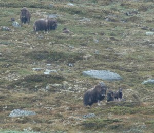 The wild muskox herd I saw while on the muskox safari in Kongsvoll, Norway. The calves in the herd were all about 1 month old. Photo by Dolly Jørgensen.