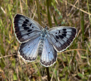 Large blue butterfly. Photo by PJC&Co from Wikimedia Commons.
