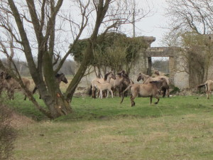 Konik ponies at Wicken Fen in a thoroughly nature-culture hybrid environment. Photo by D. Jørgensen.