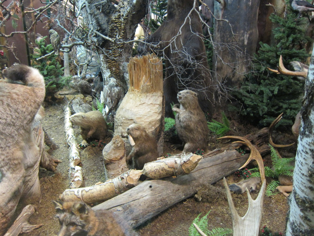 The busy beavers felling trees at Frösö zoo diorama exhibit. Photo by D. Jørgensen, June 2013