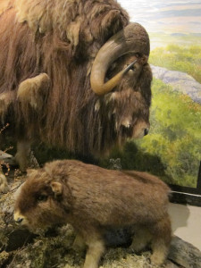 Dovre_muskox_display_close