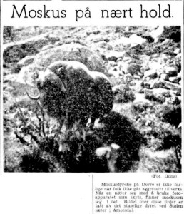An article with picture about a muskox seen near a farm in Åmotsdal during the German occupation of Norway, published in Aftenposten, 12 September 1942.
