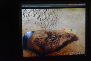 Beaver webcam video playing inside the beaver enclosure building dated 2010. 14 December 2013
