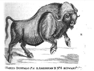 Thomas Pennant's drawing of an American bison from 1771 shows how confused early naturalists were. The body is that of a plains bison, but the horns are clearly from a muskox.