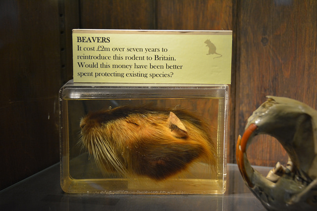 Beaver head on display at the Grant Museum of Zoology, London. Photo by Finn Arne Jørgensen. All rights reserved.