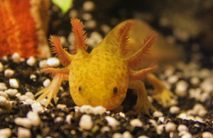A pet axolotl bought in May 2011 and named Frida by her owners. Creative Commons licensed photo by carnifex82 on Flickr. http://www.flickr.com/photos/carnifex82/5701124160/