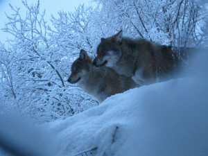 Wolves at Lycksele djurpark, Sweden. Photo by FA Jørgensen. All rights reserved.