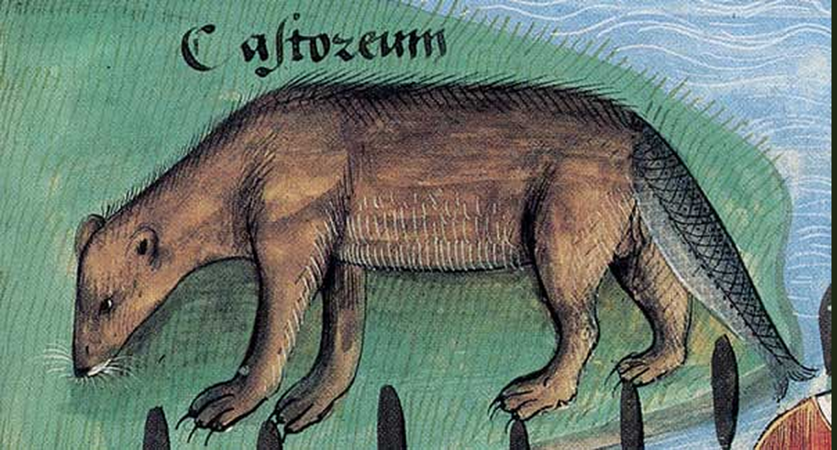 The beaver's tail shown as a fish tail in this illustration from Platearius, Livre des simples médecines, c. 1480. Paris, BnF, Français 12322, folio 188.