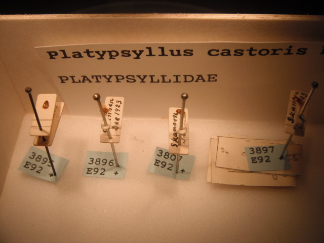"""The Platypsyllus castoris Rits. collection at the Naturhistoriska Riksmuseet, Stockholm. The three specimens on the right were given by Skansen to the museum in December 1923. The one on the left was labelled """"Delta du Rhône"""" with no date. Photo by D. Jørgensen."""