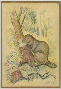 Drawing of beaver from Kulturlagret/ Vänersborgs museum, ascension number KLVM_21910_266.
