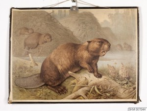 School poster of beaver made in Leipzig, Germany, 1900-1910, and sold in Sweden. Photo reproduced under cc by-nc-nd licence.  © Ola Myrin / Malmö Museer. Online image.