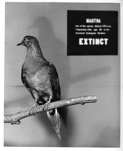 Martha, the last known passenger pigeon, on display at the National Museum of Natural History (US) in 1967. From the Smithsonian Institution collection.