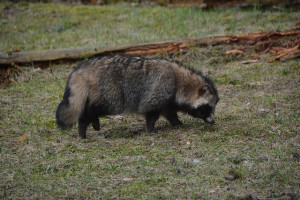 Raccoon dog at the Riga Zoo. Photo by FA Jørgensen.