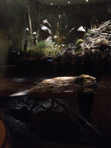 Beaver in the Naturhistoriska Riksmuseet, Stockholm