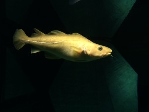 One of the cod in the aquarium at Ílhavo Maritime Museum