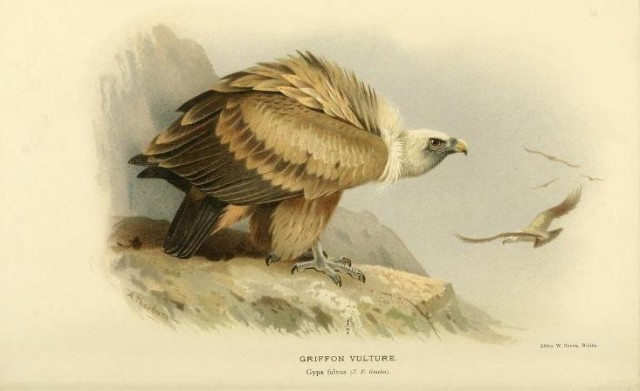 Griffon vulture illustration in Coloured figures of the birds of the British Islands, issued by Lord Lilford, 1885-1897.