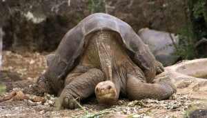 Lonesome George in 2007, the last Pinta Island giant tortoise. Photo by putneymark on flickr.