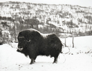 Photo of the muskox that was put down in Bekkebotn in 1957. From the Gamle Salangen website.