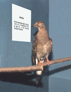 Martha the last passenger pigeon on display at the Smithsonian Institute, 2008. Photo by brdkrvr70 (https://www.flickr.com/photos/23458185@N03/2240754960/).