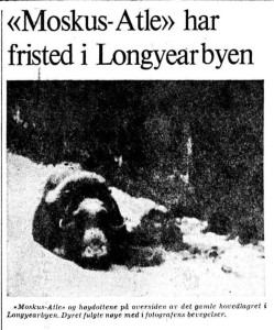 The muskox named 'Atle' was given sanctuary in teh town of Longyearbyen during the harsh winter of 1977. Aftenposten, 10 March 1977.