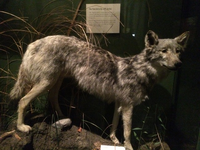 The Gray Wolf on display at the Field Museum, Chicago. Photo by D Jørgensen.