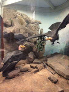 California condors at the Field Museum, Chicago. Photo by D. Jørgensen, Oct 2014