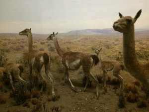 Guanacos in the Field Museum exhibit 'Messages from the Wilderness'. Photo by D Jørgensen.