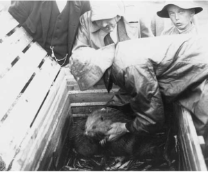 Photograph of Arbman picking up one of the first beavers reintroduced in Sweden. Taken by Nils Thomasson, July 1922. Original in the Jamtli archive.