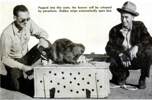 A beaver sits on the crate that had been especially designed to be parachuted to a rural designation in Idaho. 'Moving day for the parabeavers', Popular Mechanics, Apr 1949.