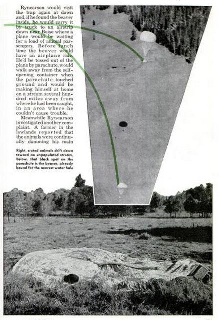 View of the parachuting beavers above and one beaver after a successful landing below. 'Moving day for the parabeavers', Popular Mechanics, Apr 1949.