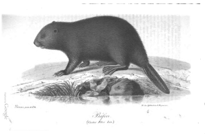 Beaver illustration from S Nilsson, Illuminerade Figurer till Skandinaviens Fauna, vol 1, Lund (1832).