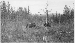 Muskoxen in the biological survey pasture at the University of Alaska Agricultural Experiment Station. Photo in University of Alaska Fairbanks collection, http://vilda.alaska.edu/cdm/ref/collection/cdmg11/id/25140