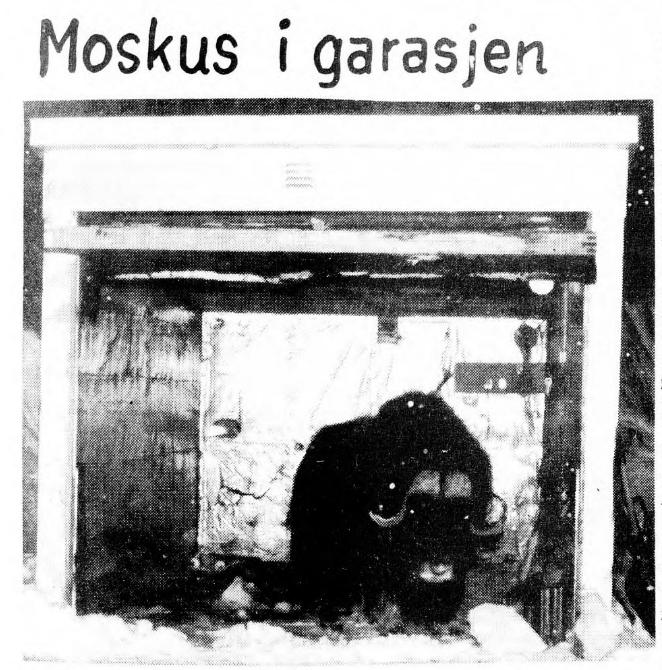 Muskox in the garage. Printed in Svalbardposten newspaper, 5 February 1972.